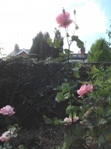 Billy McCulloch's roses